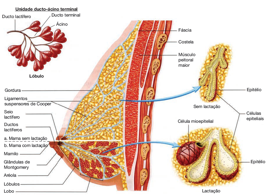Ilustração anatomia da mama.